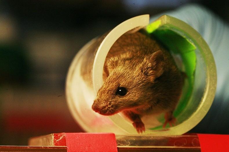 rato_laboratorio